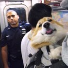 Subway Corgi in a backpack