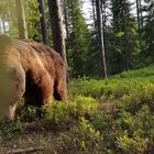 Being woken up to a bear searching for food near your tent