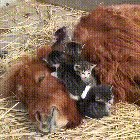 Kittens, Calf, and Capy