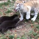 Tiger cub meets two curious baby otters