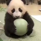 Panda loves his ball