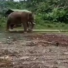 Elephant uses a stick to clean between his toes