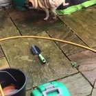 A pug with hidden talents
