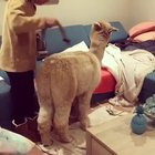 Cleaning an Alpaca