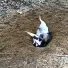 Doggo attempts to dig a hole