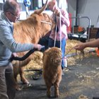 Saw a highland calf getting blow dried for the highland show yesterday