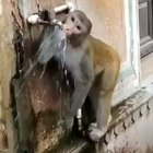 Monkey closing the tap after drinking water
