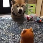 Shiba Inu argumenting at a toy :D