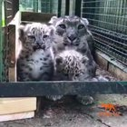Never new snow leopard cubs sound this scary!!