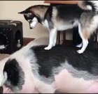 Doggo try to wake up Pig