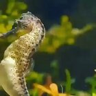 Just a Seahorse giving birth