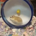 Peanut the hamster cannot control his speed