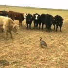 Goose fends off gang of cows