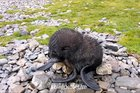 Newborn arctic fur seal