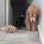 Puppy's mind = fucking blown at mama doggo's ability to traverse stairs