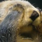 Otter itching his squishy snoot