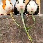 Guinea pigs find out they were eating the same piece of grass