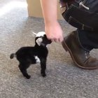 The tiniest goat 🐐 but wait for the tail wag.